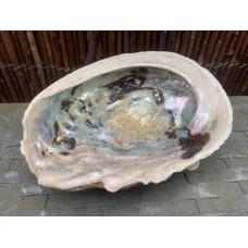 Abalone - Perlamoen - Aliotis Midae